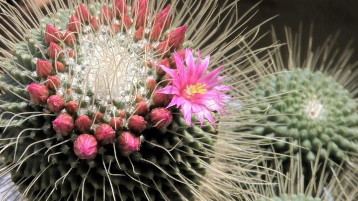 Les Cactus, Cactées ou encore Cactacées